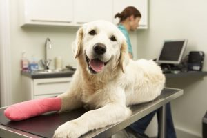 lab dog with cast on injured foot at the vet