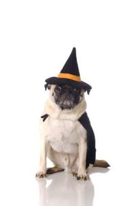 a pug dog dressed in witch costume