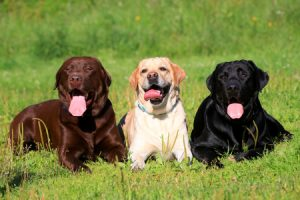Three Happy Labs